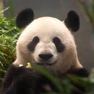 毎日パンダ   上野動物園に毎日...
