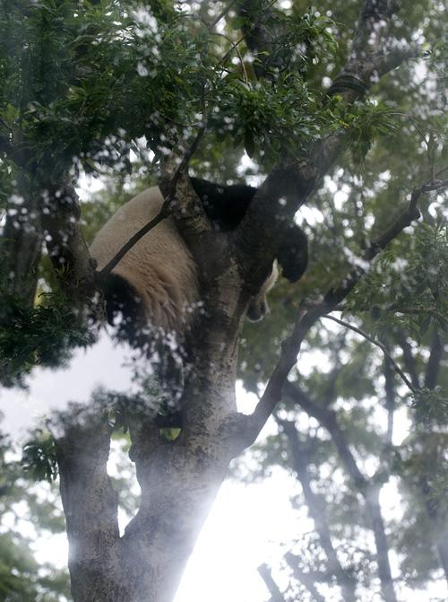 シンシン 木に登る