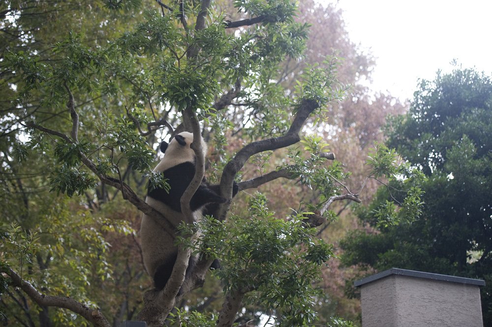 木登りシンシン