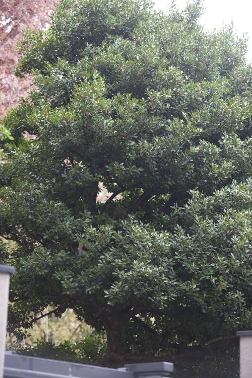 パンダ 木登りシンシン