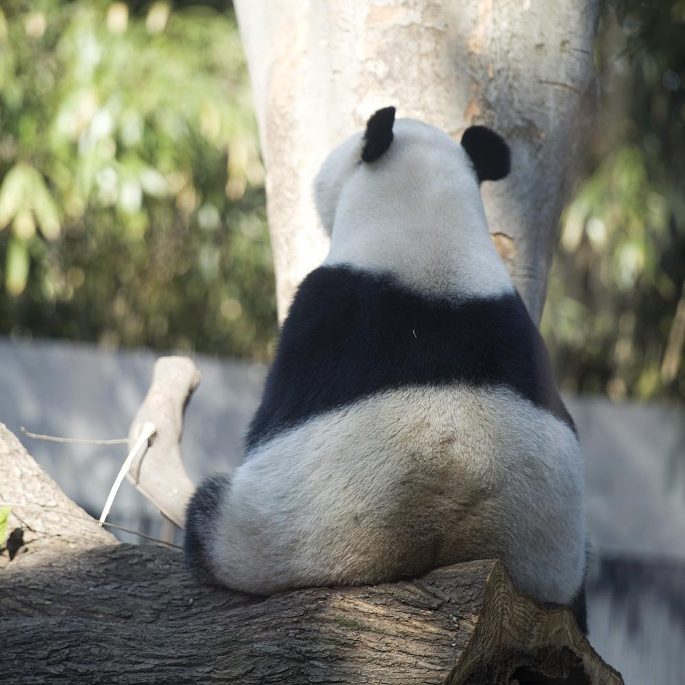 パンダの画像 p1_2