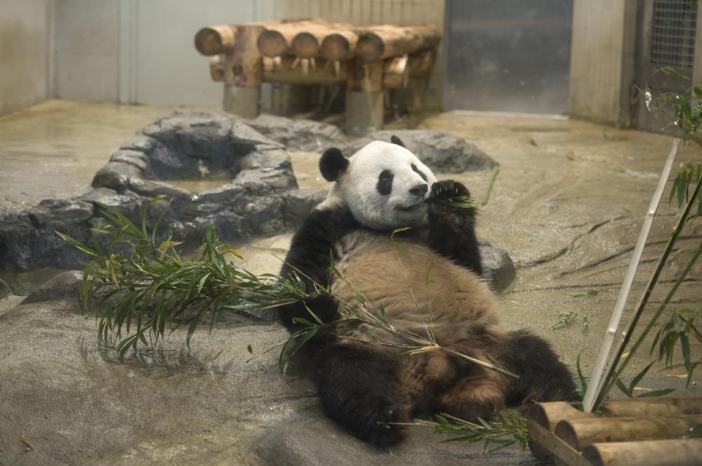 パンダ リーリー  リーリーも腹ペコ   毎日パンダ