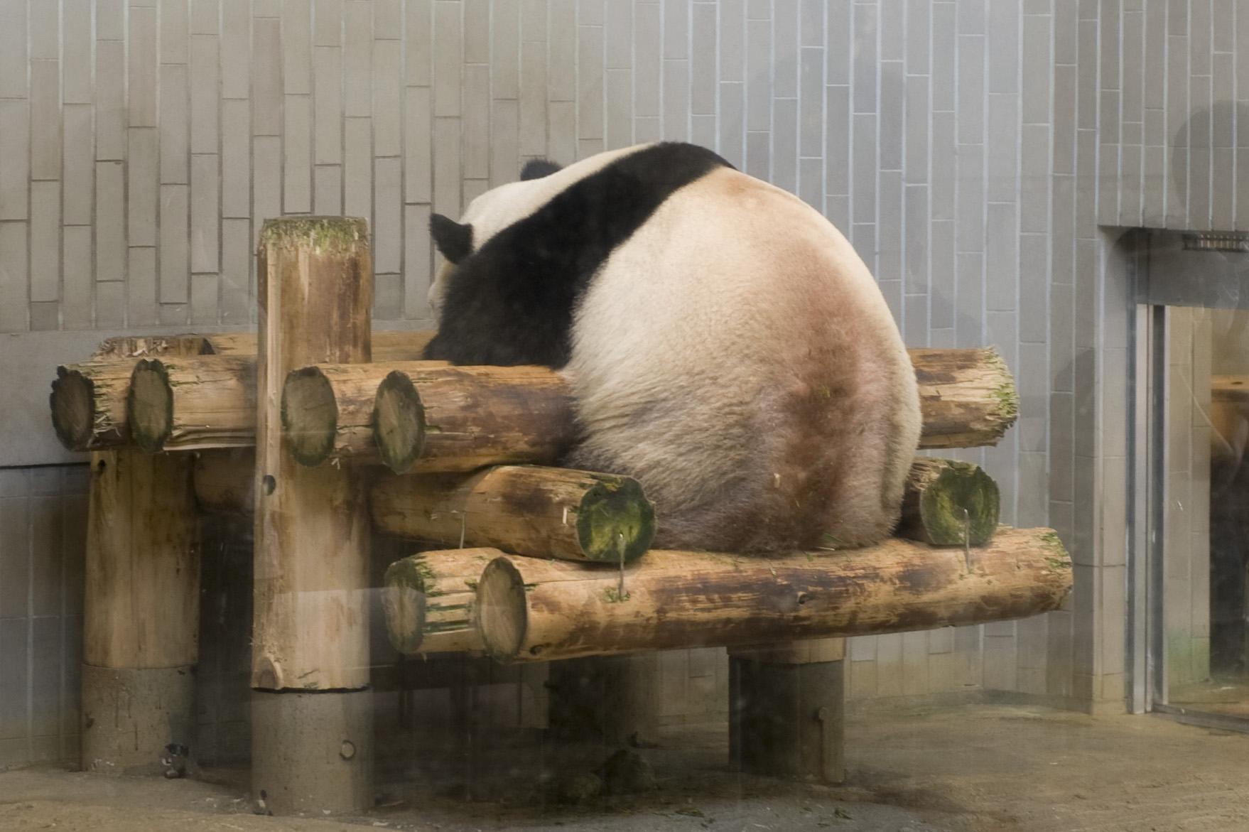 パンダ リーリー  今日のリーリーの様子  今日のパンダ(294日目)