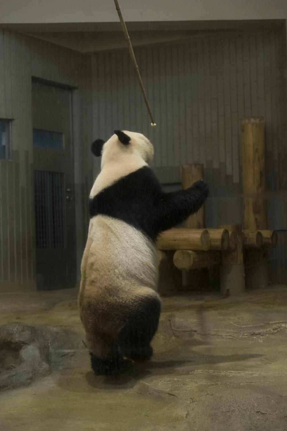 パンダ シンシン