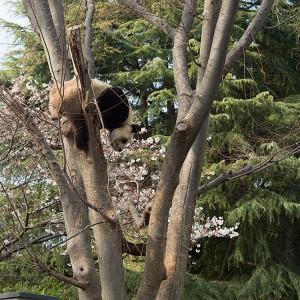 桜見下ろすのもアリ