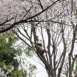 パンダの木