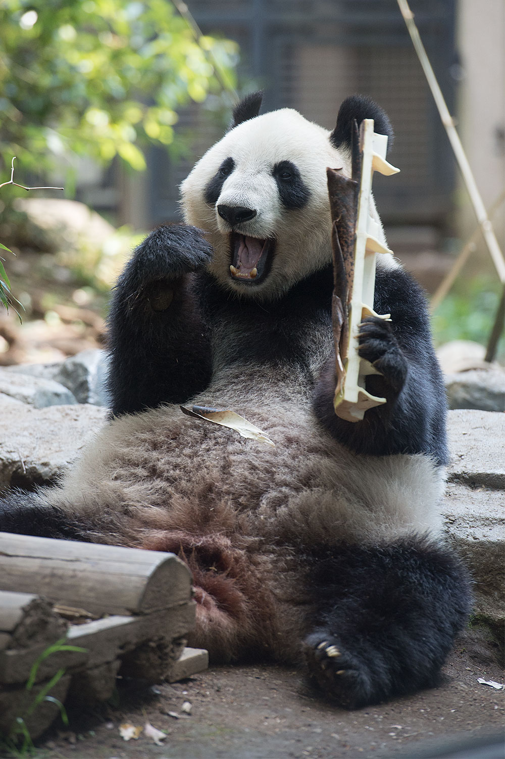 今日のパンダ(1813日目)