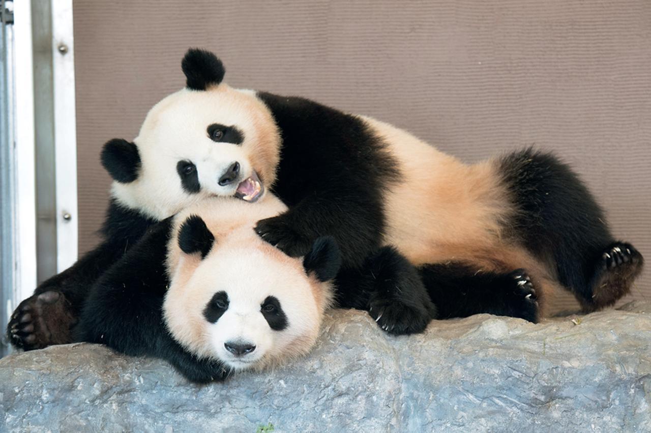 アドベンチャーワールドで可愛いパンダに接近しちゃおう♡