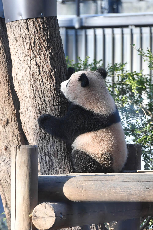 おはようございましゅ 今週もお仕事とか学校とか頑張ってね ゆいたんはたくさん遊んで たくさんお昼寝しましゅ 結浜 パンダ Panda アドベンチャーワールド パンダ お昼寝 昼寝